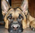 Испытывают ли собаки стресс?