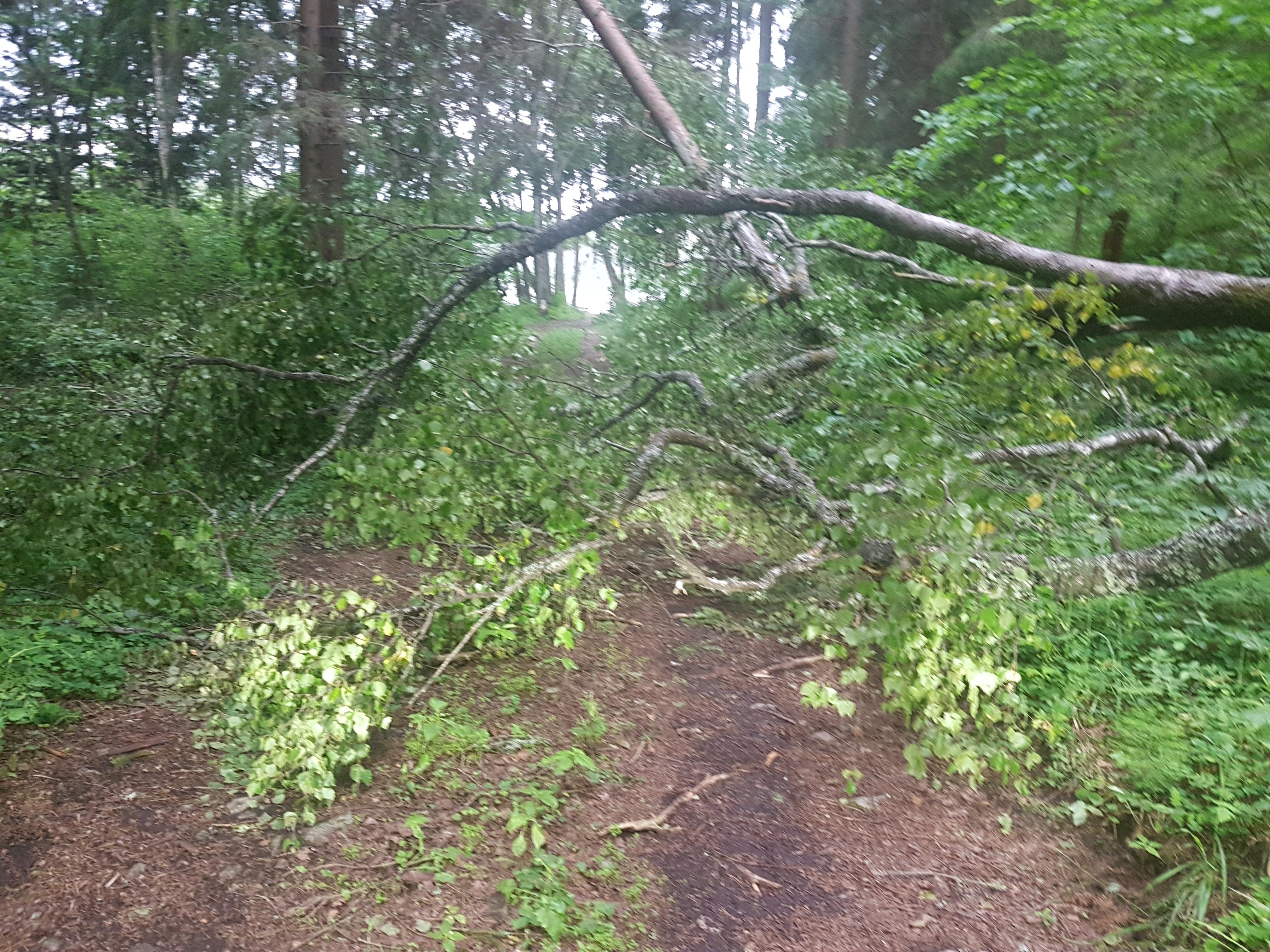 Langenud puu Kurtnas. Lugeja foto