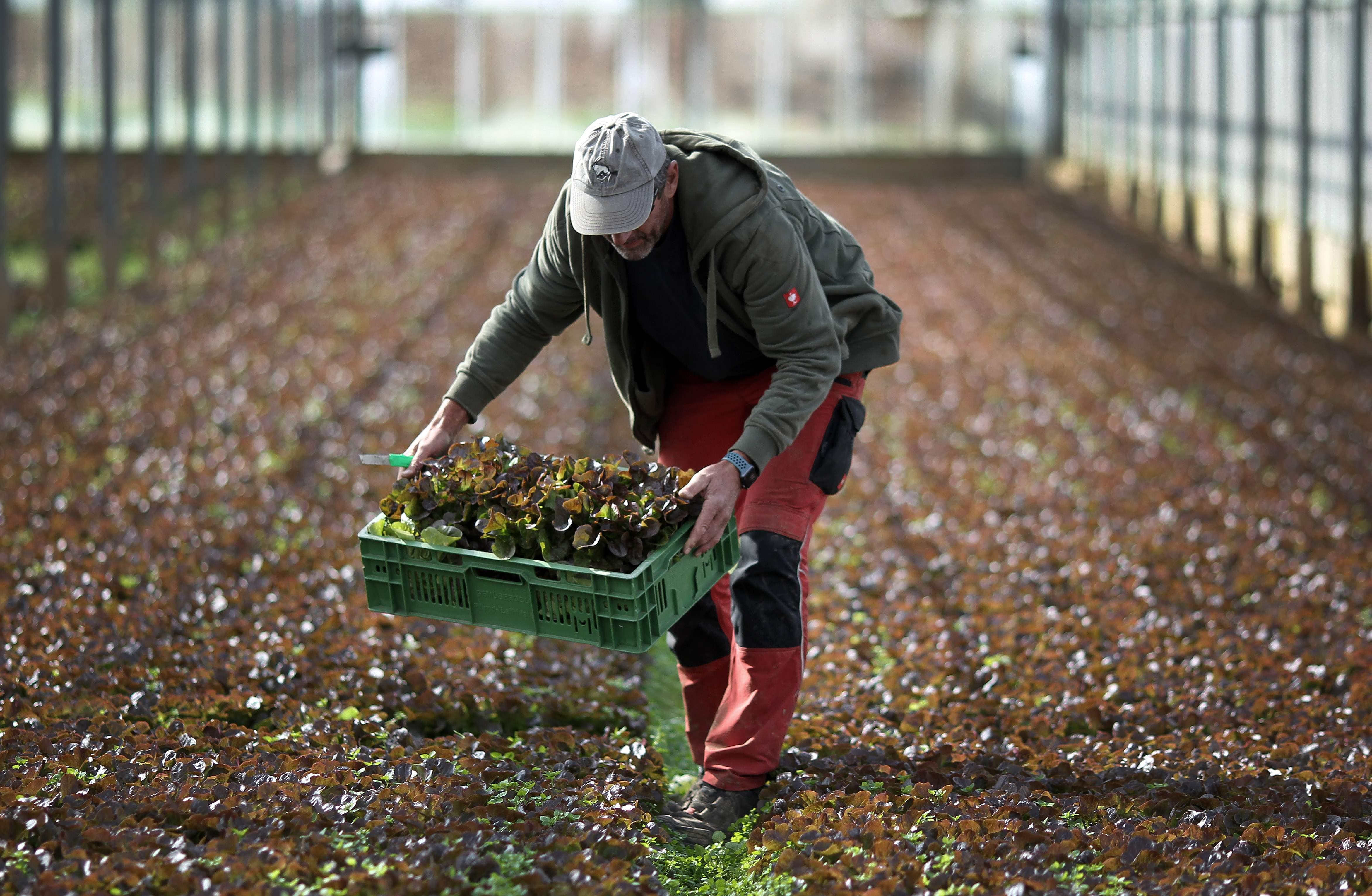 Saksamaal Heidelbergi lähedal Dossenheimis asuvad suured kasvuhooned ootavad töökäsi.