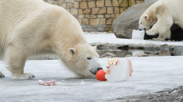 Jääkaru Friida