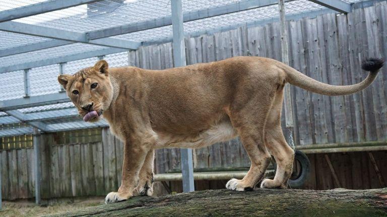 India lõvi Tori