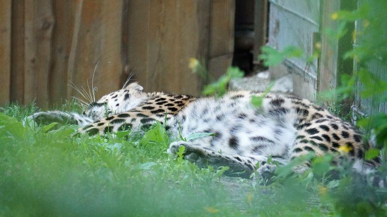 Amuuri leopard Darla