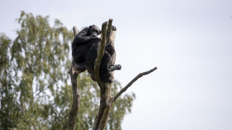 Šimpans Betty